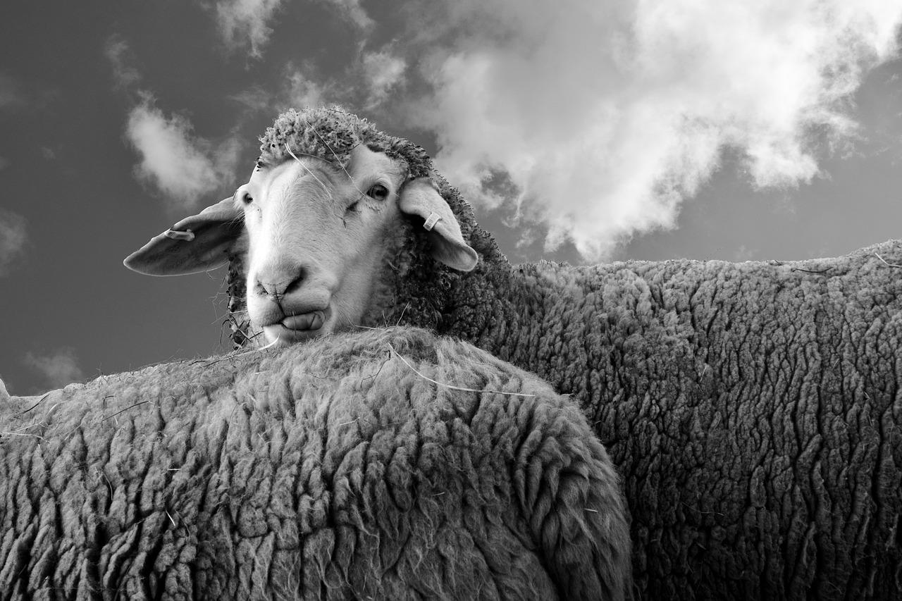 овцы скот животные
